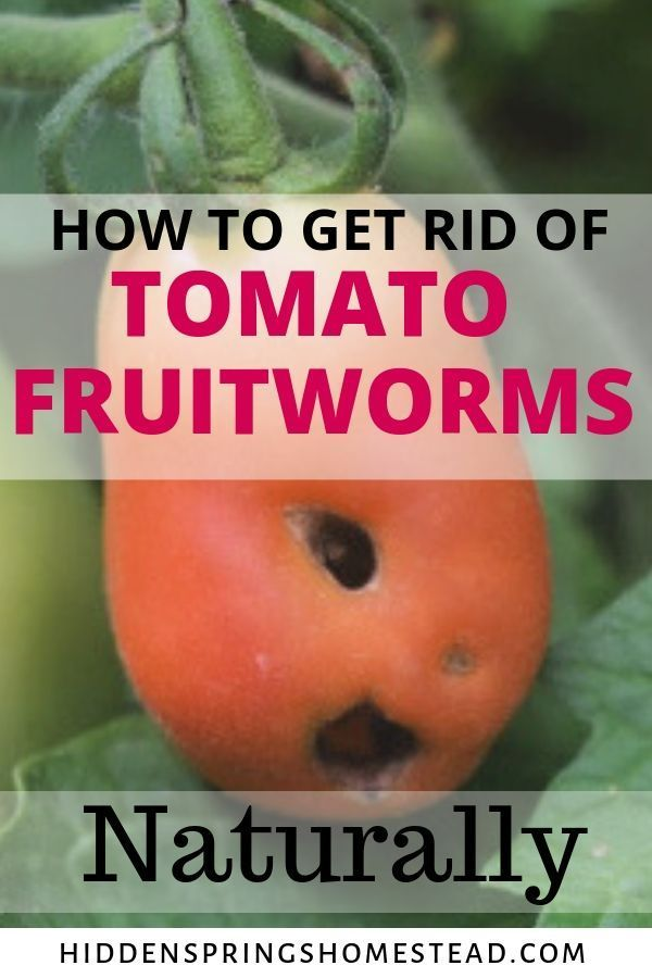 Garden Pest Eating Holes In Your Tomatoes  is part of Garden pests, Garden pest control, Slugs in garden, Organic insecticide, Organic pesticide, Plant pests - Are you finding that something is eating small holes in your tomatoes just as they are beginning to ripen  It's a tomato fruitworm! Learn how you can naturally control and get rid of this troublesome garden pest before it destroys your crop