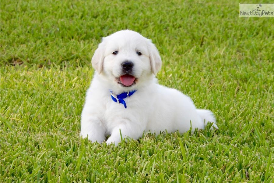 Golden Retrievers Golden Retriever Puppy For Sale Near Houston
