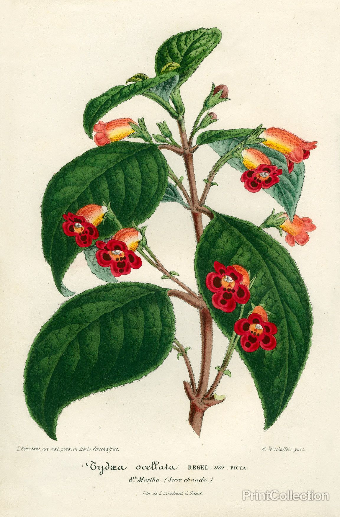 Botanische Serre Print Collection Kohleria Of Central America Botanical Prints