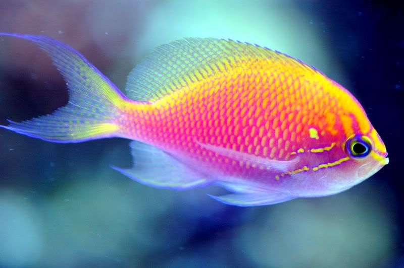 Pink Anthias Reef Central Online Community Saltwater Fish Tanks Marine Fish Colorful Fish