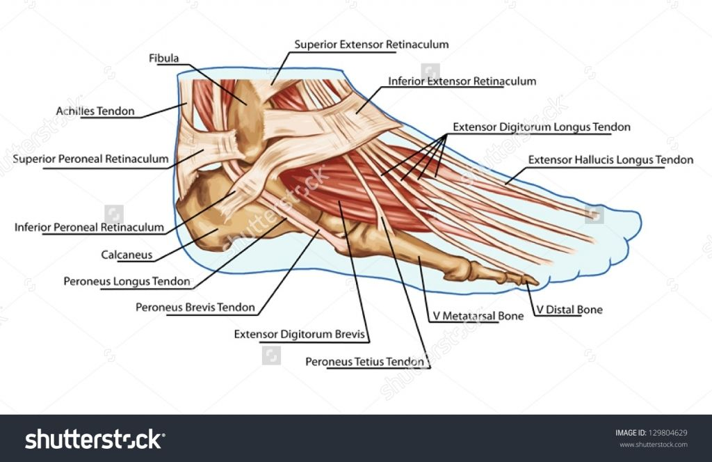 Anatomy Of Leg And Foot Foot Muscles And Tendons Anatomy Of Leg And Foot Human Ligaments And Tendons Muscular System Foot Anatomy