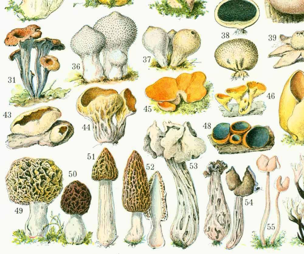 1933 Antique Mushroom Identification Chart Print, Vintage