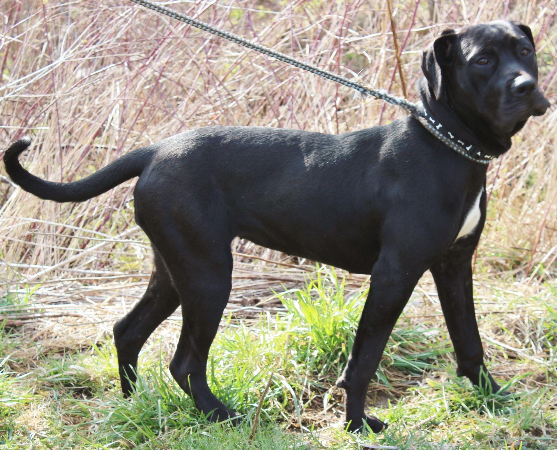 Mastador dog for Adoption in Hillsdale, IN. ADN509595 on
