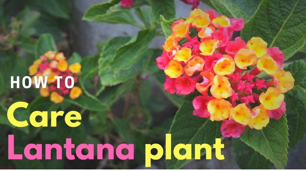 How To Care Lantana Plant Indoor And Outdoor Gardening Outdoor
