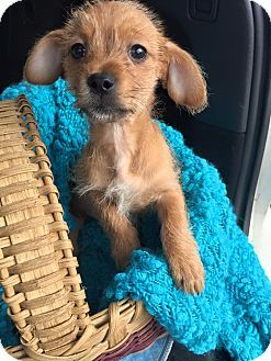 Bedminster Nj Chihuahua Yorkie Yorkshire Terrier Mix Meet Slater A Puppy For Adoption Puppy Adoption Yorkshire Terrier Puppies Yorkshire Terrier