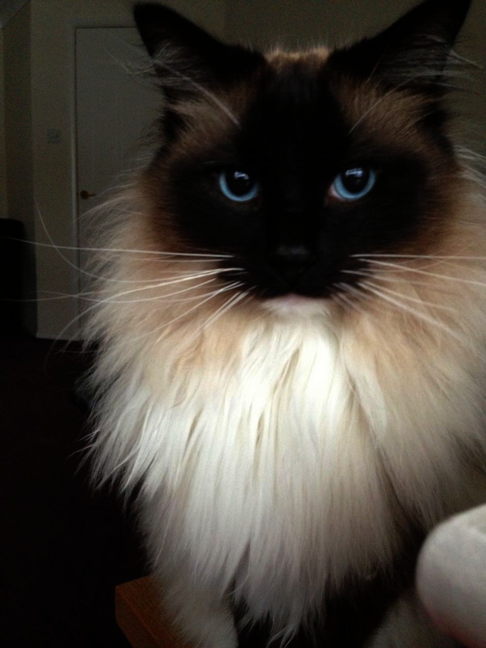 Cats And Kittens Jazz Cat Defending Kittens Ragdoll Cats For Sale Ragdoll Cat Ragdoll Kitten
