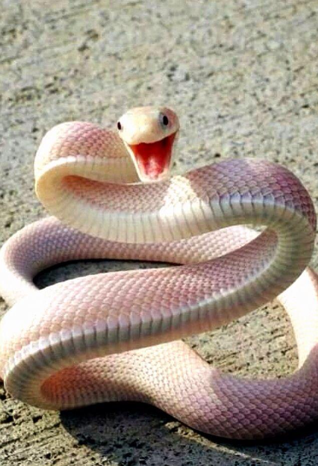 Serpiente blanca o albina  b2990e8f3ce1