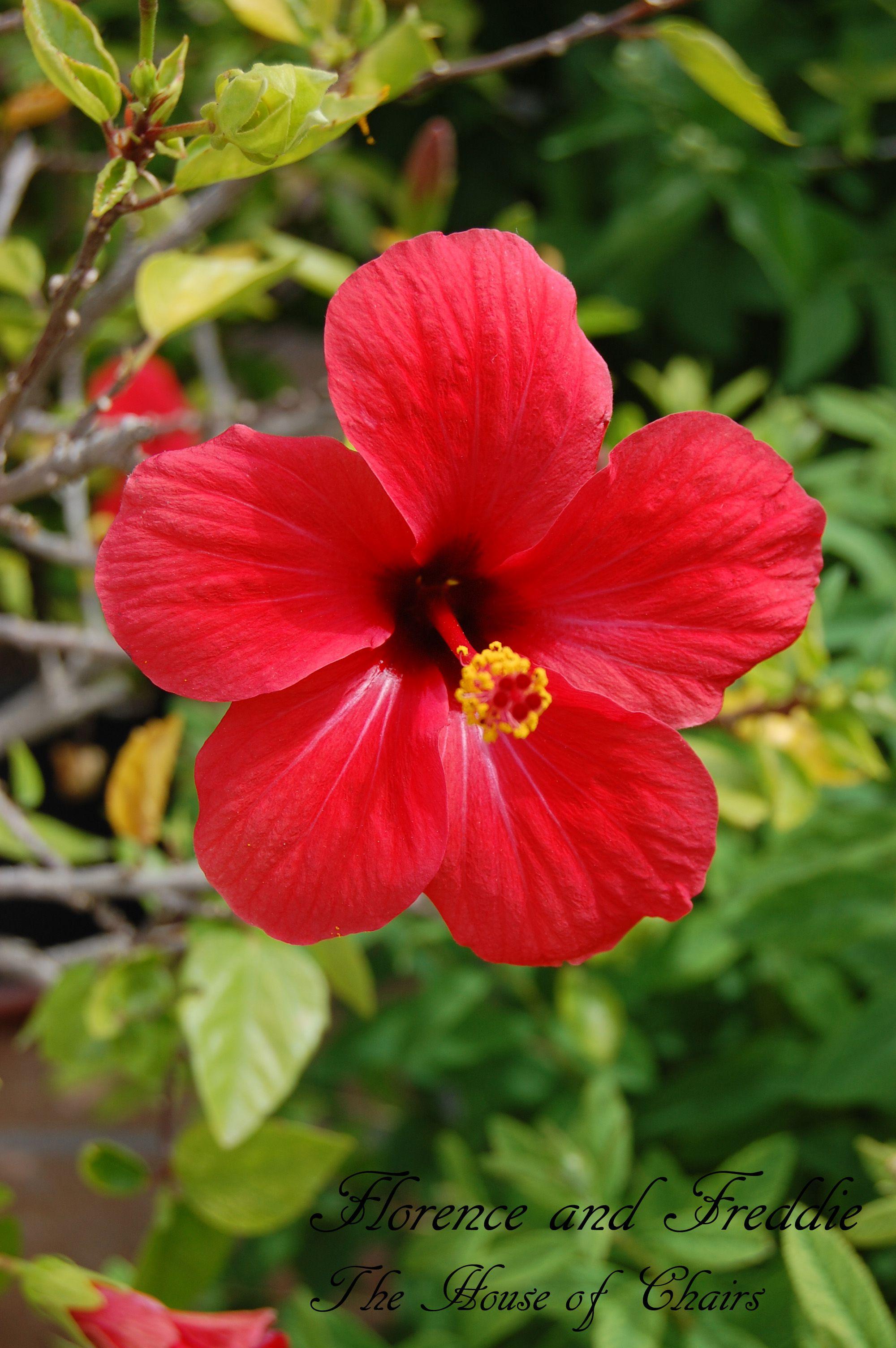 Photo Of Hibiscus Flower Belas Flores Flores Delicadas Hibisco