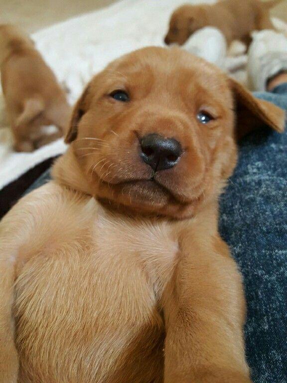 Pin By Vicki Bt On Red Fox Lab My Future Dog Labrador Retriever