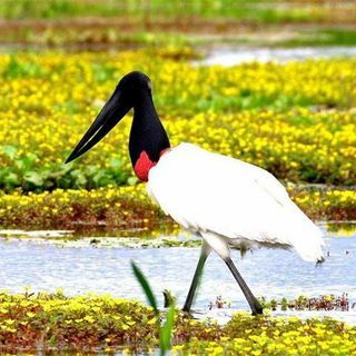 Tuiuiu Do Pantanal Pantanal