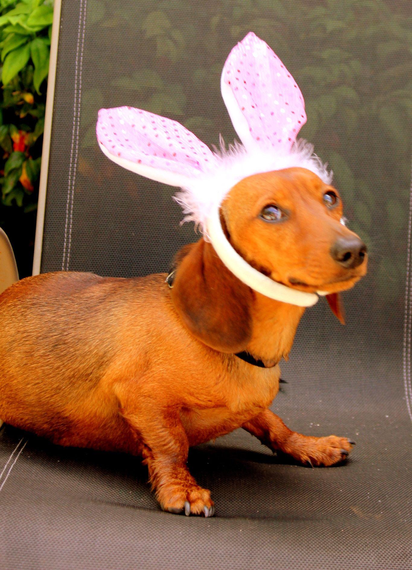 Dachshund Puppy In Bunny Ears Wiener Dog Dachshund Dachshund