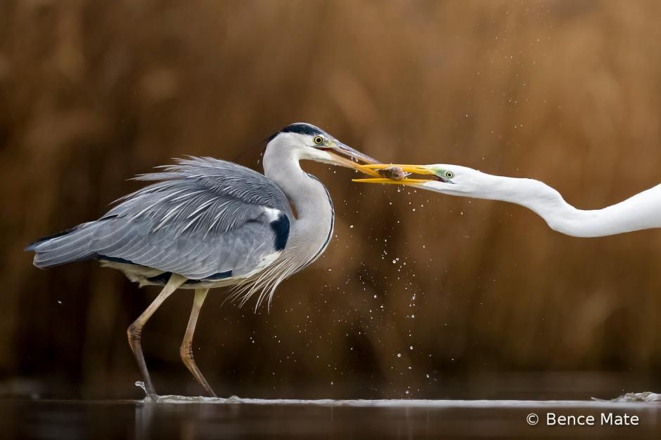 Although The Grey Heron Is Stronger Than The Great White Egret The