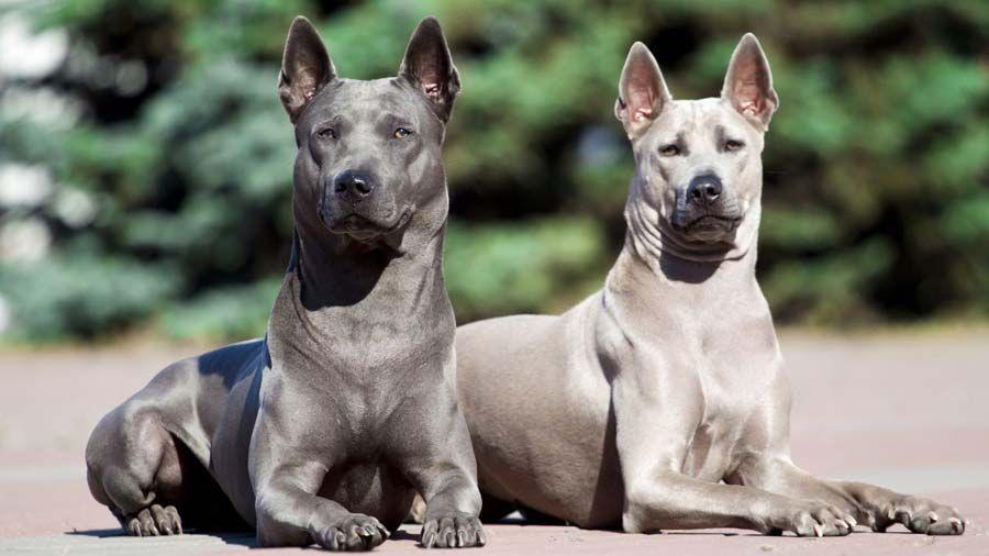 Thai Ridgeback Thai Ridgeback Protective Dog Breeds Dog Breeds