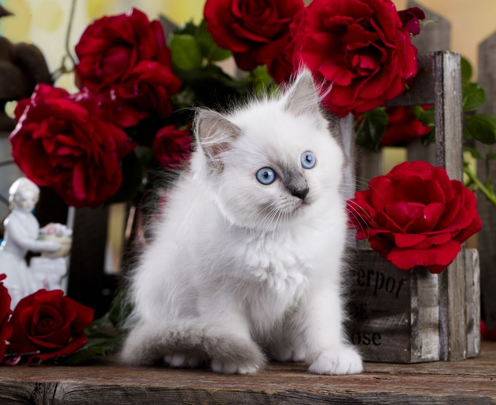 Kittens For Sale And Adoption In Portland Lilac City Ragdolls In 2020 Kittens Ragdoll Kitten Kitten For Sale