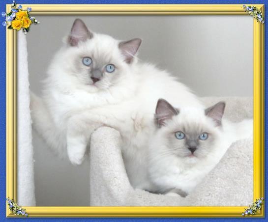 Love Ragdolls Beautiful Cats Kittens Cutest Soft Kitty Warm Kitty