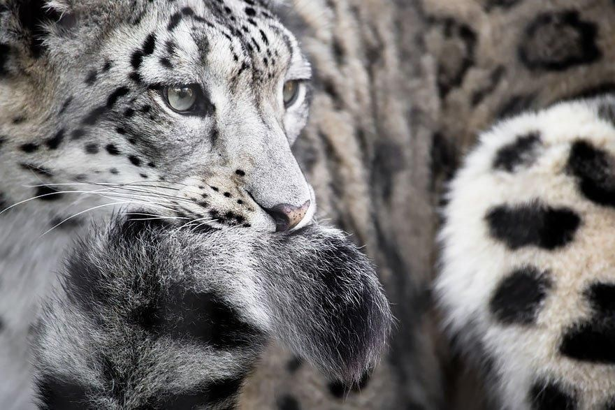 Snow Leopards Biting Their Own Tails Will Make Your Day Meowingtons Snow Leopard Leopards Big Cats