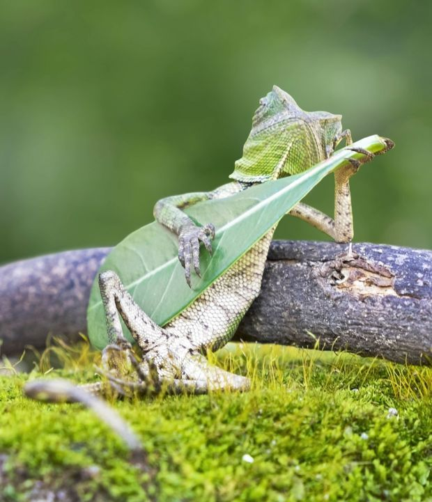 Lizard strikes a pose playing his leaf guitar.