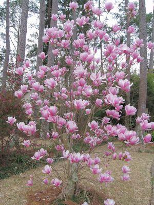 Magnolia Tree Dwarf Shrub Anese Bush