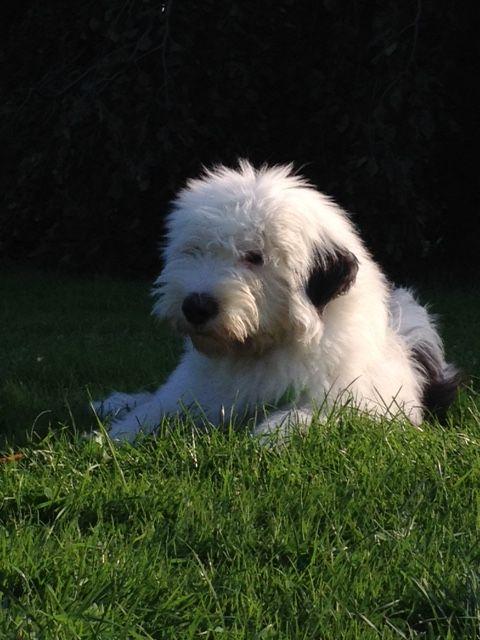 Ana Baumberg Bobtail Pawshake English Sheepdog Sheepdog Dogs