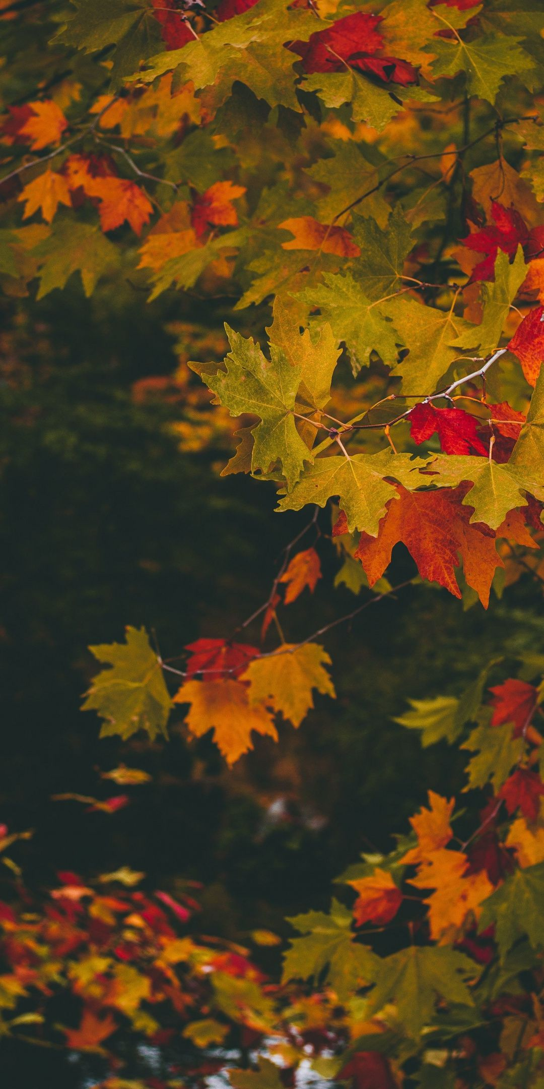 Maple Leaves Autumn Branches 1080x2160 Wallpaper Fall Wallpaper Leaf Photography Autumn Inspiration