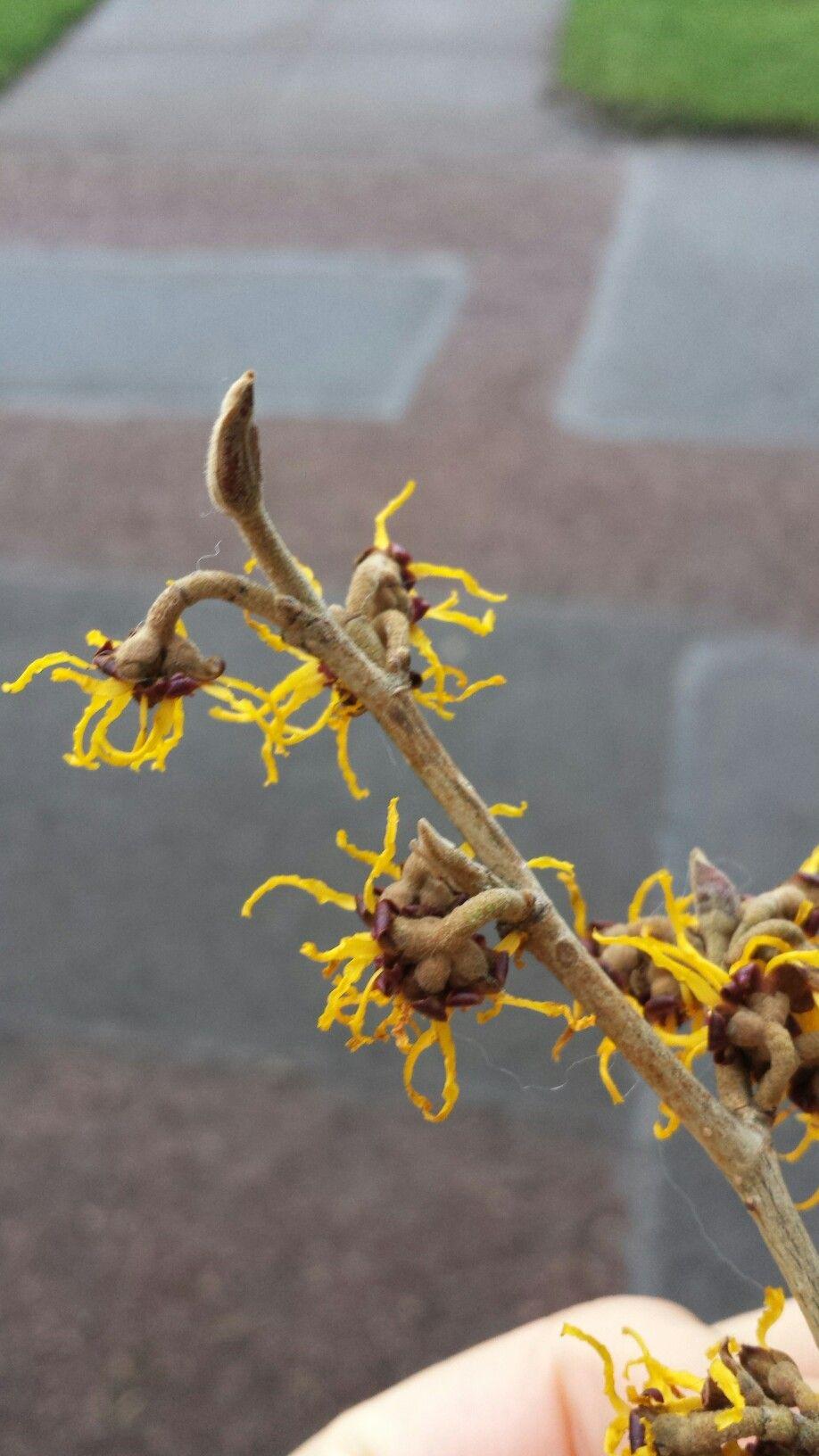 Hamamelis Japonica Var Arborea Hamamelidaceae Japan Japonica