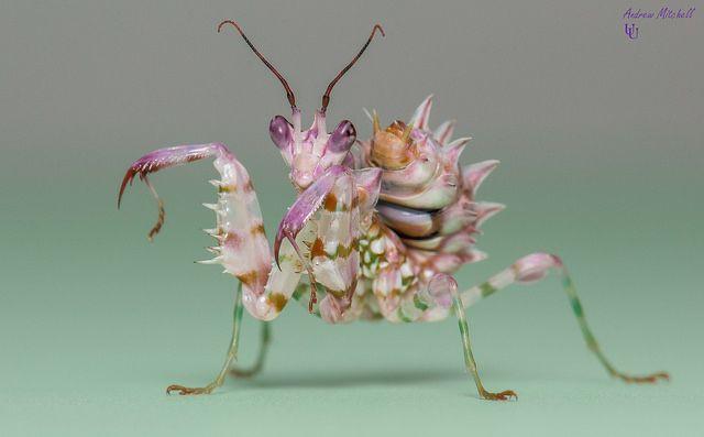 Pseudocreobotra Wahlbergii Spiny Flower Mantis 5th Instar Male