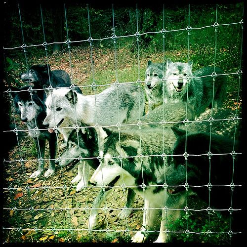 Wolf Sanctuary, Lancaster PA, US (2011)