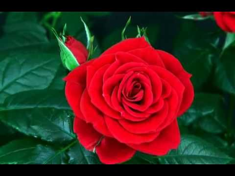 Good Morning Flowers For You Good Morning Wishes Greetings Sms Sayings Quotes E Card Whatsapp Video Youtube Blooming Rose Flower Video Red Roses