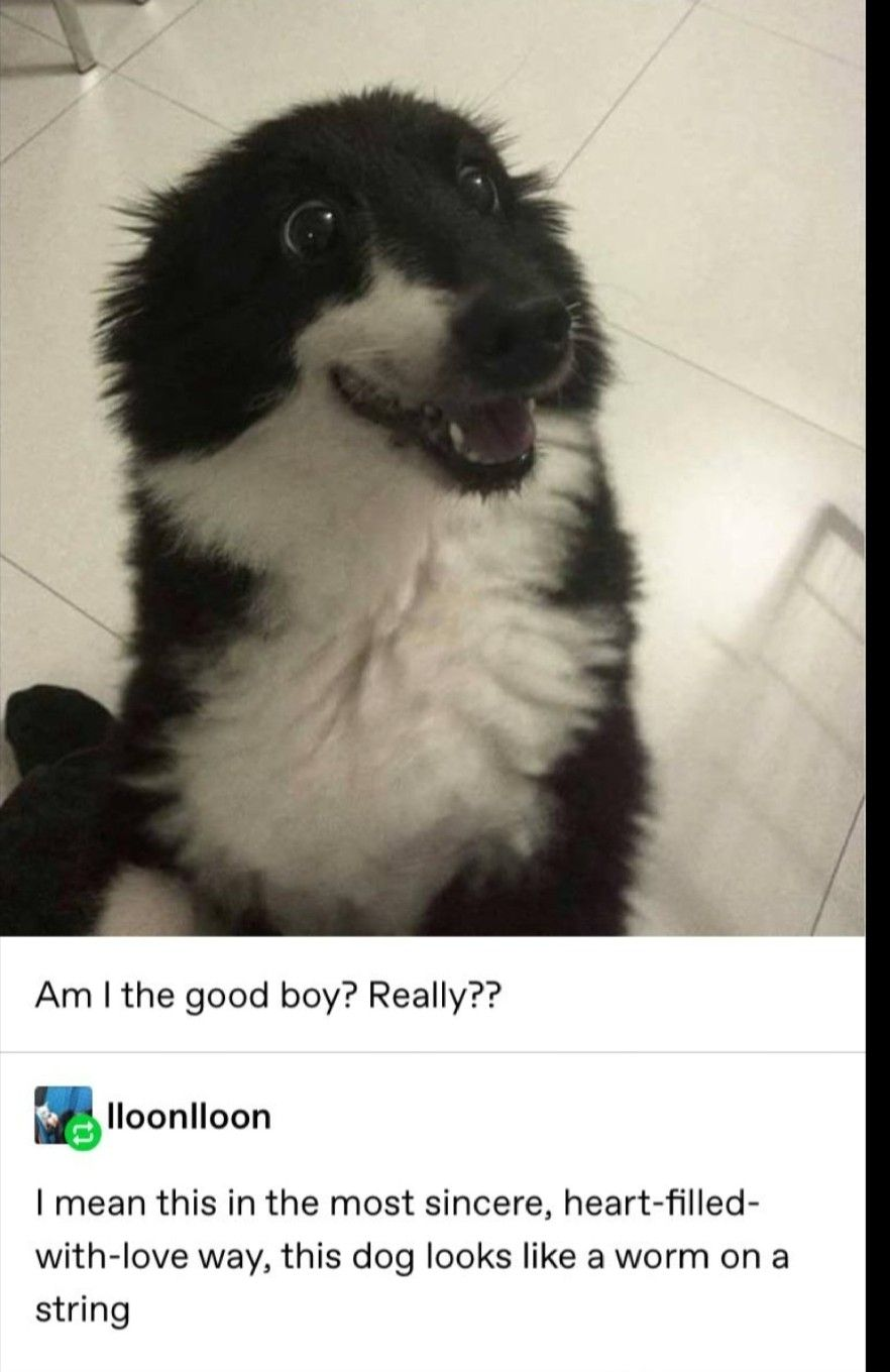 This Dog Looks Like My Cat In 2020 Cute Funny Animals Funny Animals Funny Cute