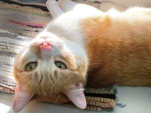 Adopt Sampson On Petfinder Orange And White Cat White Cat Animals