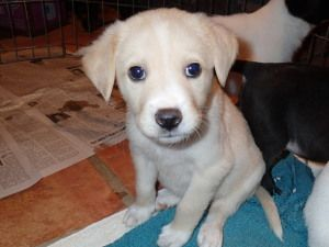 Adopt Dancer Pending On Dogs Golden Retriever Golden Retriever