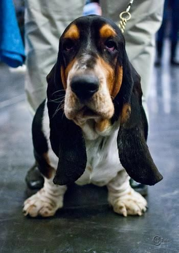 Pin By Stephanie Morris On Basset Hounds Basset Dog Basset Hound Puppy Basset Hound Dog