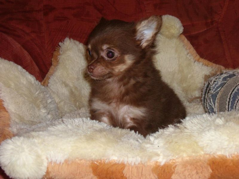Super Susser Schoko Tan Langhaar Chihuahua Welpe Madchen Chihuahua Chihuahua Welpen Susse Tiere