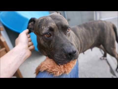 In Loving Memory of wonderful and precious HENNY - Totally misunderstood by NYCACC and MURDERED 6/18/16 Brooklyn Center My name is HENNY. My Animal ID # is A1076066. I am a female br brindle pit bull. The shelter thinks I am about 10 YEARS old. I came in the shelter as a OWNER SUR on 06/02/2016 from NY 11434, owner surrender reason stated was BITEPEOPLE.