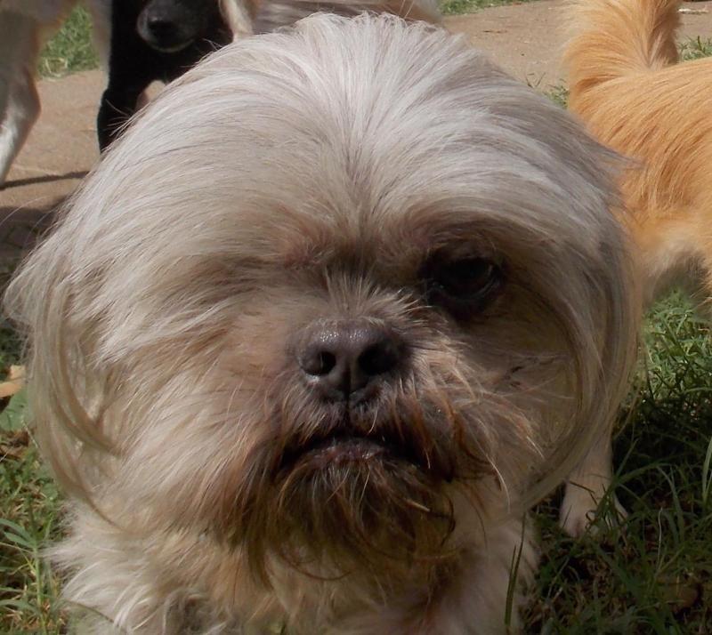 Adopt Aunt Mabel On Petfinder Shih Tzu Rescue Animal Shelter Shih Tzu