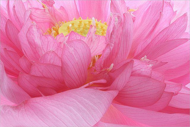 Flower: Lotus  petals / lotus_petal -  Macro - IMG_7313-1 by Bahman Farzad, viaflores Flickr