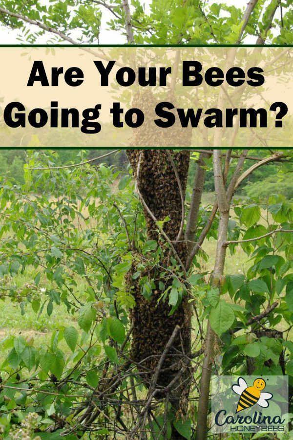Swarm Prevention in Honey Bees - Carolina Honeybees | Bee ...