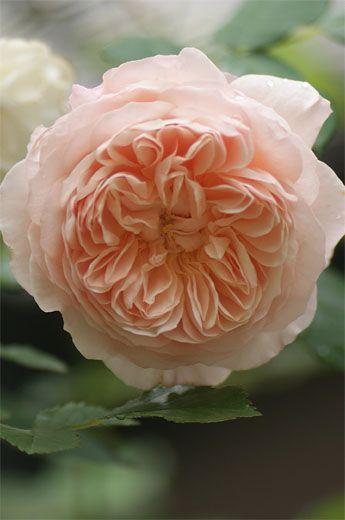 English Shrub Rose Rosa William Morris U K 1998 Gardeningforbeginners Shrub Roses David Austin Roses Pretty Flowers