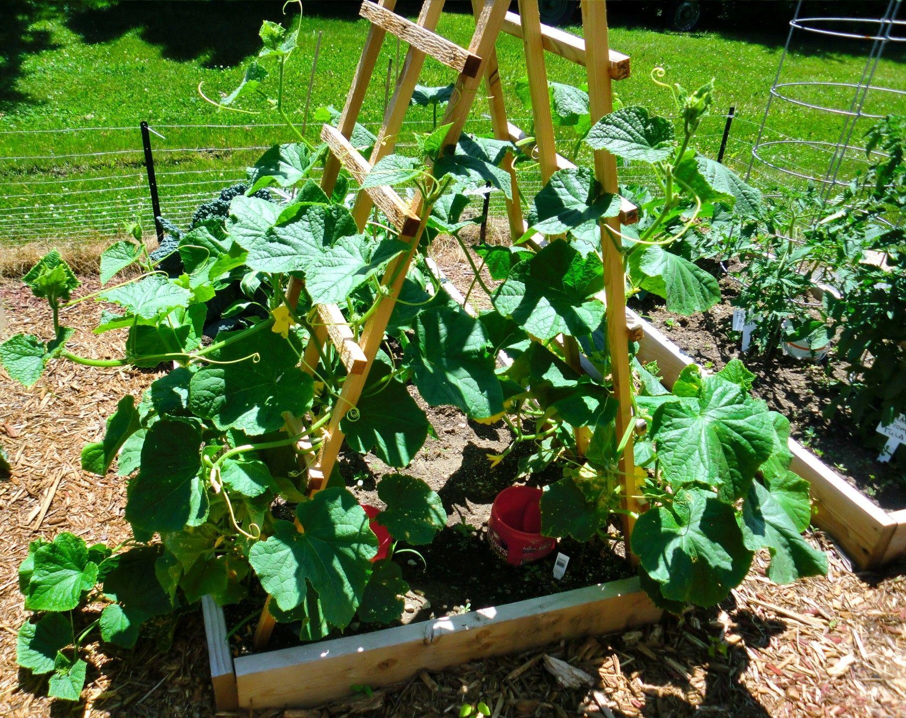 Save Space Grow Cucumbers On A Trellis Garden Trellis 400 x 300