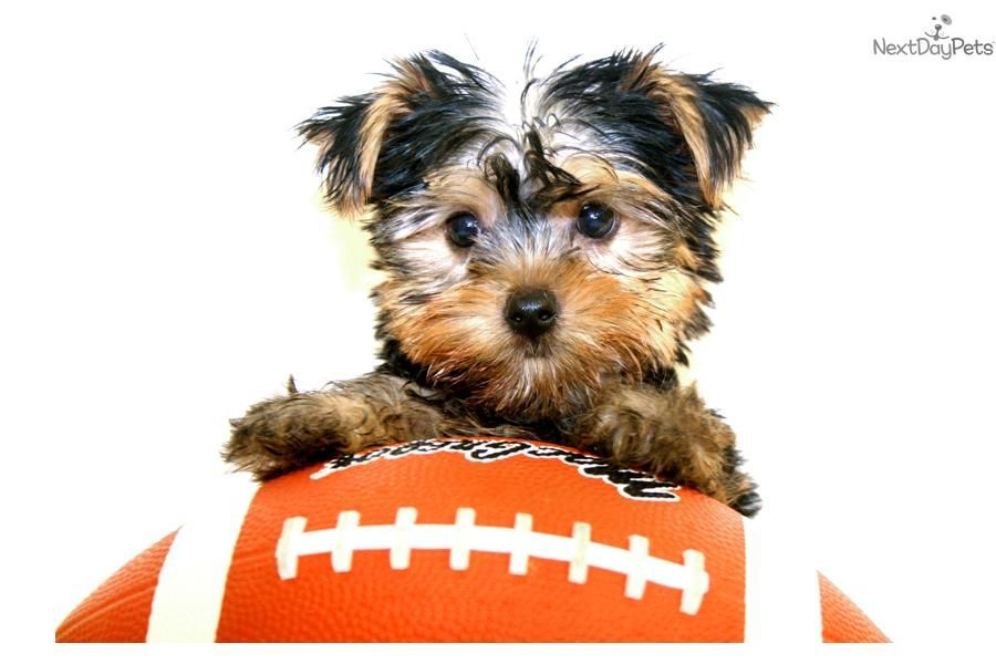 Meet Michael A Cute Yorkshire Terrier Yorkie Puppy For Sale For 799 Micha Yorkshire Terrier Puppies Yorkshire Terrier Puppy Yorkie Yorkie Yorkshire Terrier