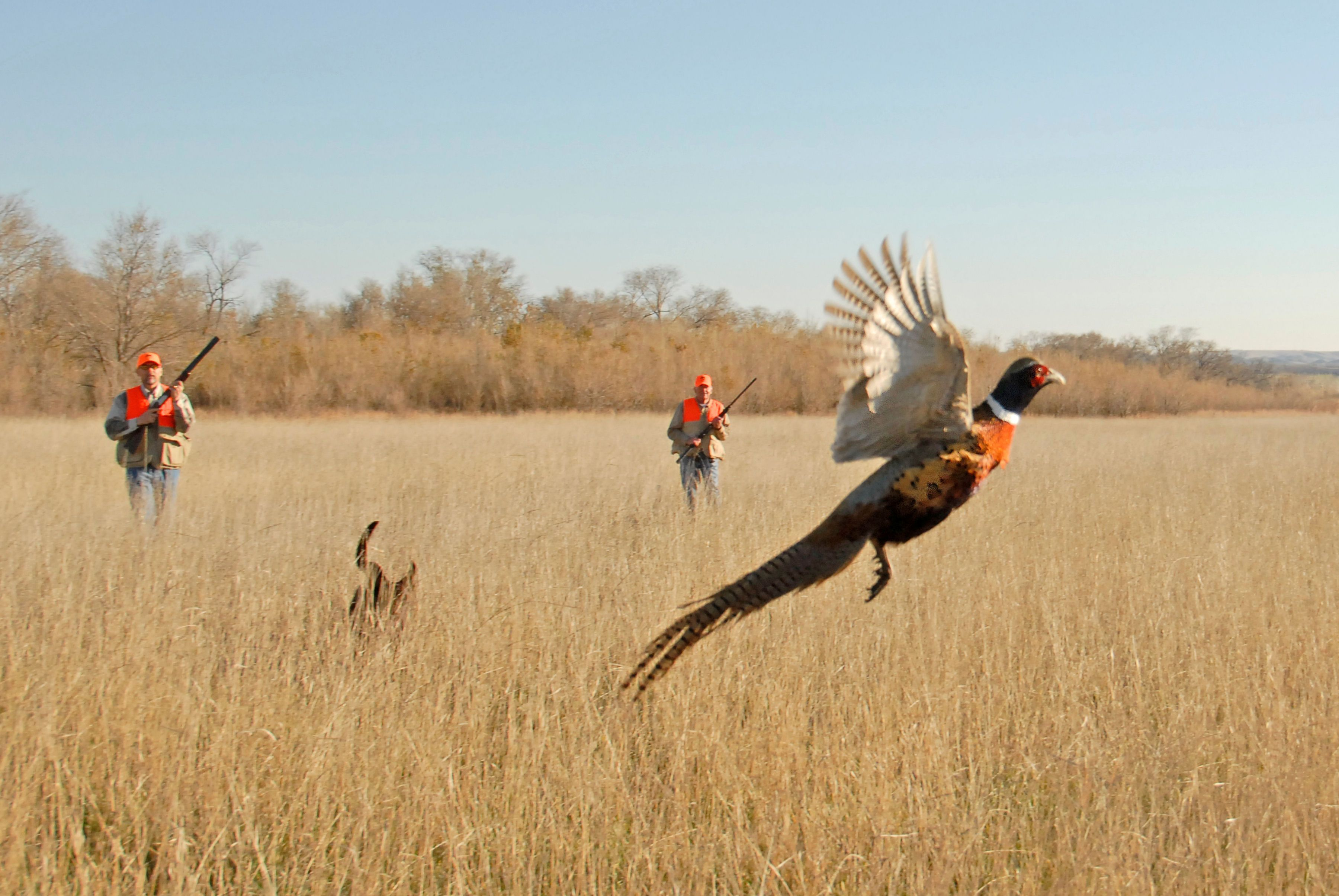 Image result for pheasant flushing Upland hunting