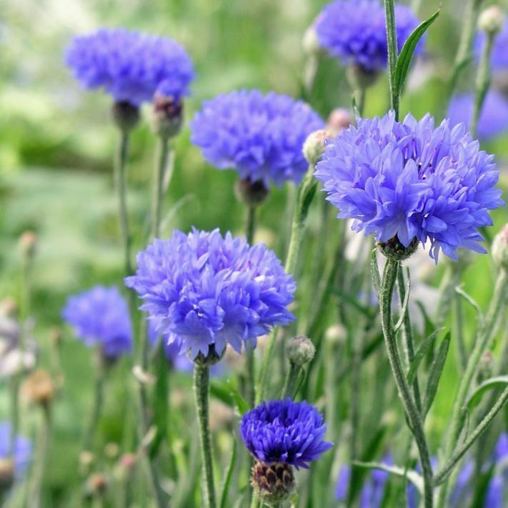 Kornblume: Romantische Sommerblume