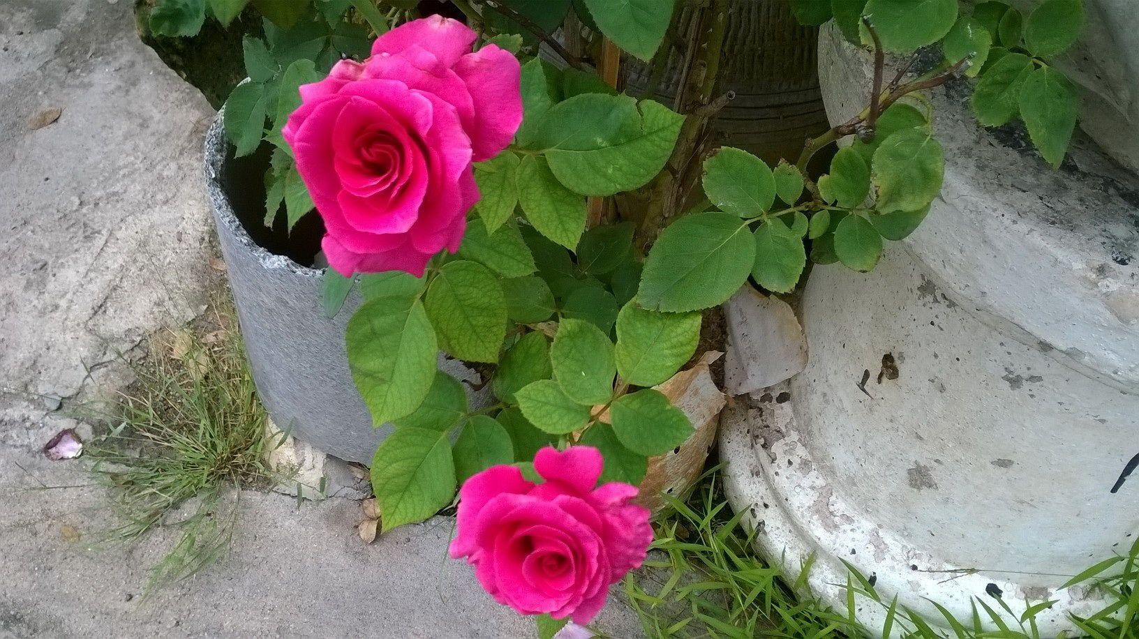กุหลาบ (Rosa hybrida.)