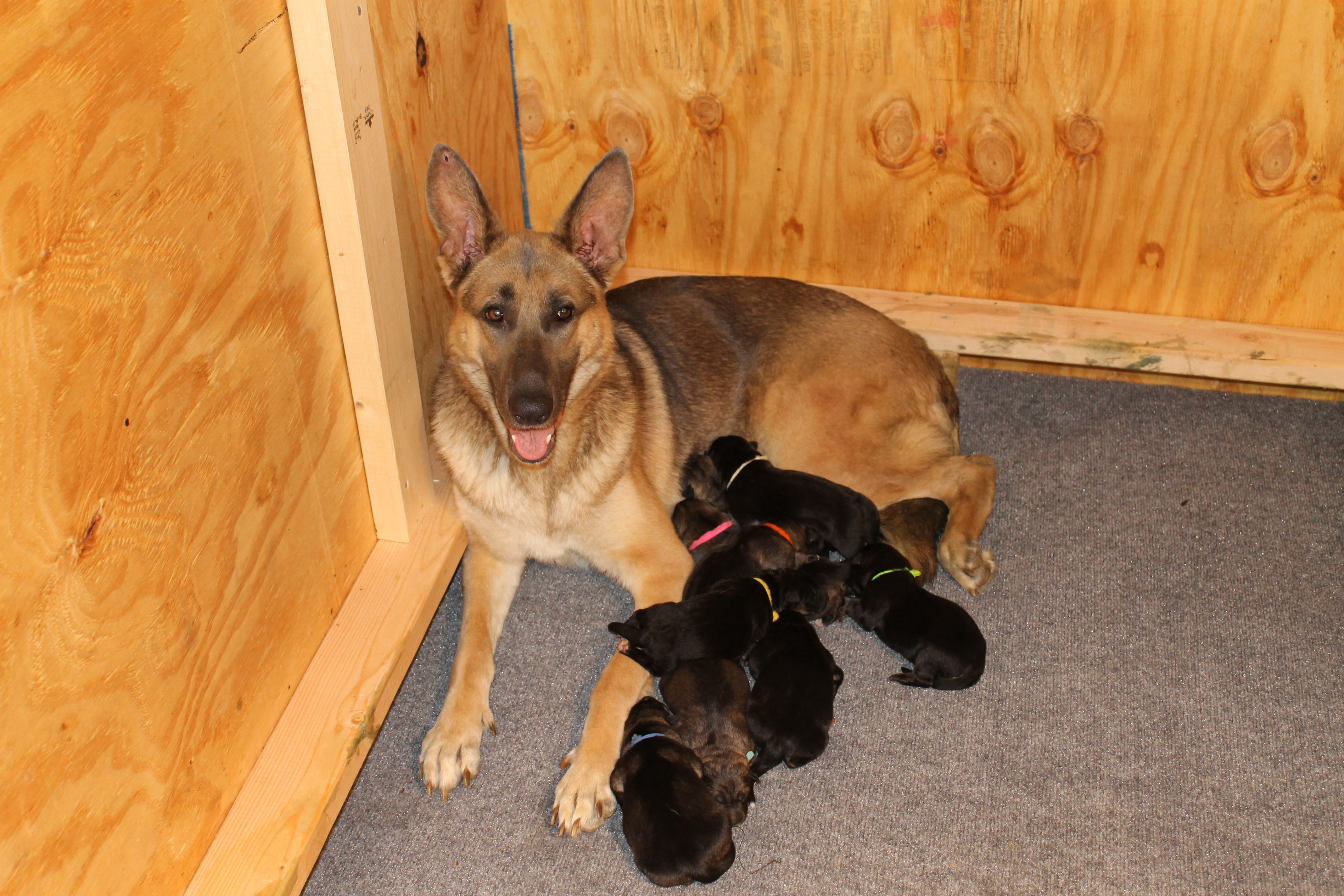 Akc German Shepherd Astra S Puppies Have Arrived She Has 9 Total