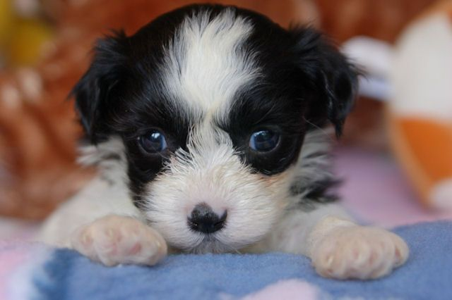 havanese black and white - Google Search
