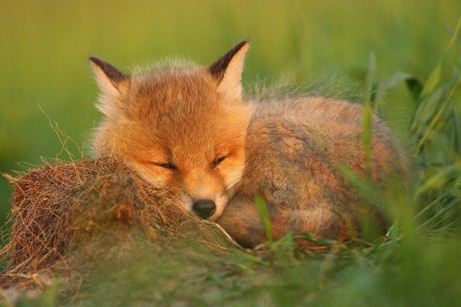лисенок спать ложится картинка готовыми