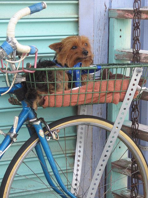Looking very comfortable in his bicycle dog carrier.