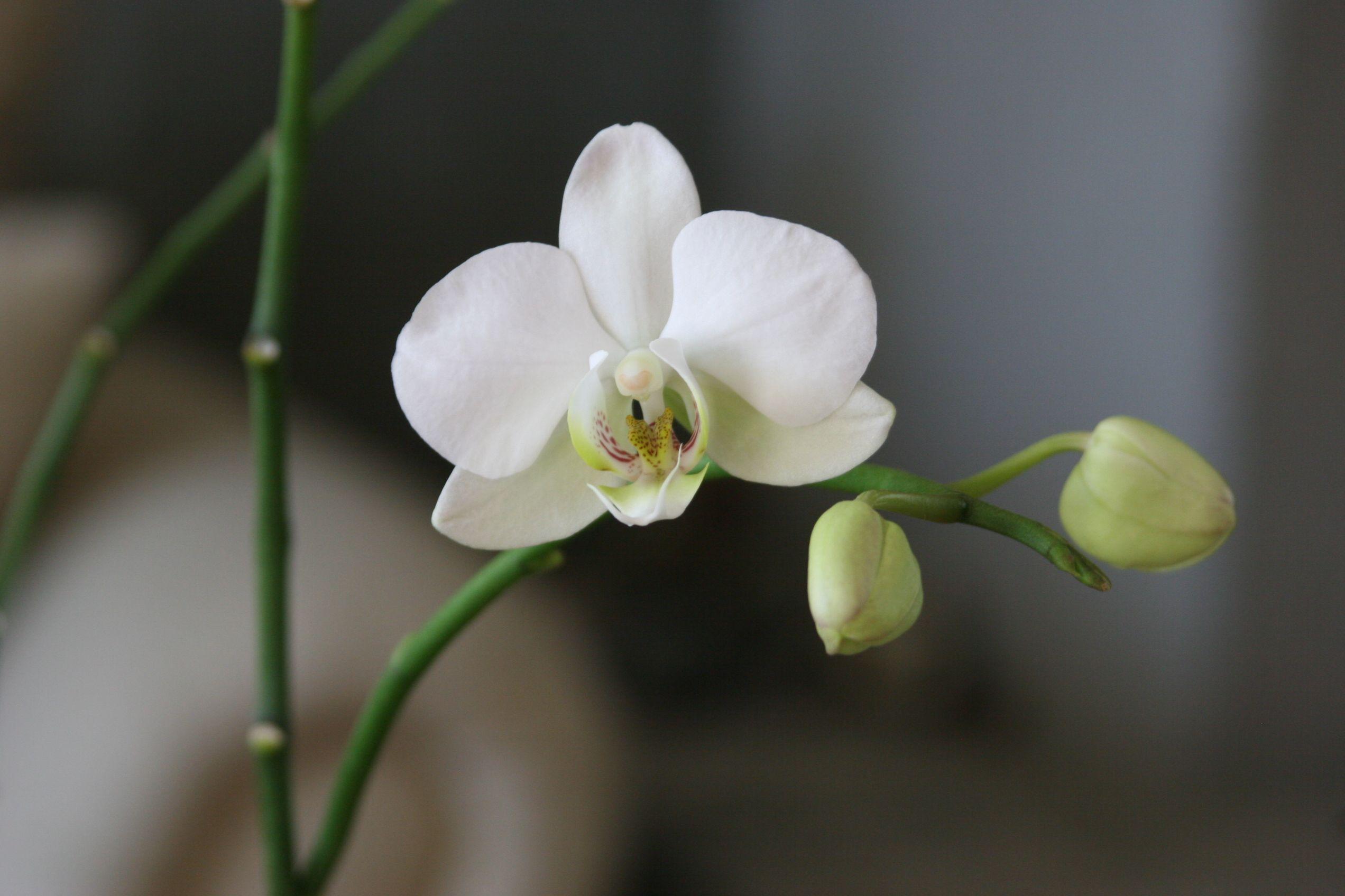 Phalaenopsis By Laura Oviedo Reynoso Mxicopuebla Flowers