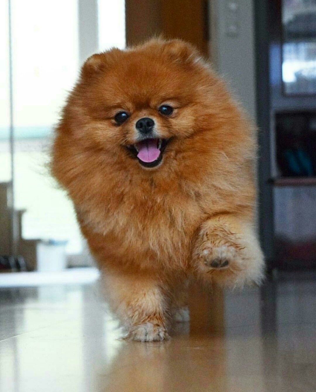 Beautiful German Spitz Canine Adorable Dog - bcac01f118a88e9a2252e8635af0ad4d  Snapshot_418812  .jpg