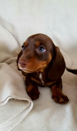 Puppies For Sale Lancaster Puppies Dachshund Puppies For Sale